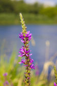 Nehir kıyısında büyüyen willow herb bitki. — Stok fotoğraf