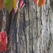 Autumn leaves against the bark of a tree. — Stock Photo