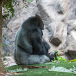 Silverback gorilla — Stock Photo #23631789