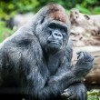 Silverback gorilla — Stock Photo #23631809