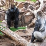 Silverback gorilla — Stock Photo #23631877