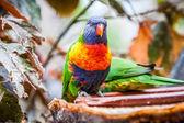 Rainbow parrot — Stock Photo