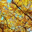 Chestnut foliage — Stock Photo