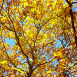 Stock Photo: Chestnut foliage