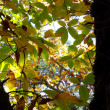 Chestnut foliage — Stock Photo #35342555