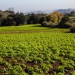 Potato field — Stock Photo #36422055