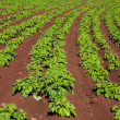 Potato field — Stock Photo #36422057