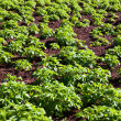 Potato field — Stock Photo #36422071