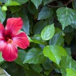 Hibiscus — Stock Photo #36459055