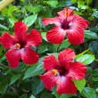 Hibiscus — Stock Photo #36459059