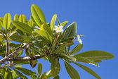 Plumeria tree — Stock Photo