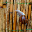 Snail on the fence of reeds — Stock Photo