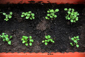 Potted seedlings — Stock Photo