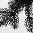 Conifer needles on a branch — Stock Photo