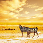 Постер, плакат: African wild zebras