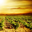 Bright sunset at vineyard — Stock Photo