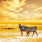 Zebre selvatici africani — Foto Stock