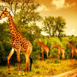 Stock Photo: South Africgiraffes