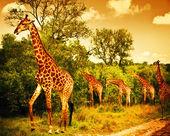 Jihoafrický žirafy — Stock fotografie