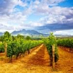 Grape valley — Stock Photo #12692814