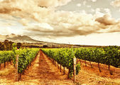 Beautiful vineyard — Foto de Stock
