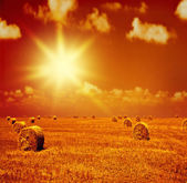 Sunset on dry wheat field — Stock Photo