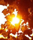 Fondo de hojas de parra — Foto de Stock