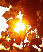 Sfondo di foglie d'uva — Foto Stock