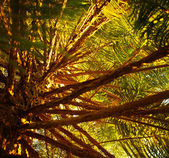 Pine tree background — Stock Photo