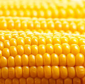 Corn background — Stock Photo