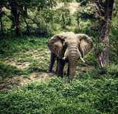 Elephant in fresh woods — Stock Photo