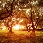 ������, ������: Olive trees garden