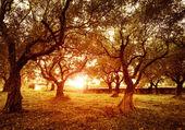 Olive trees garden — Stock Photo