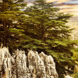 Cedar tree forest — Stock Photo