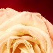 White rose on red background — Stock Photo