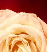 Rosa bianca su sfondo rosso — Foto Stock