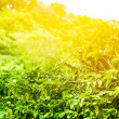 Royalty-Free Stock Photo: Coffee plantation sunny background