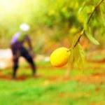 ������, ������: Farmer in lemon garden