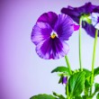 Purple pansy flowers - Foto Stock