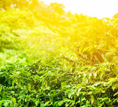 Coffee plantation sunny background — Stock Photo