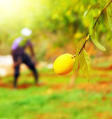 Farmer in lemon garden — Stock Photo