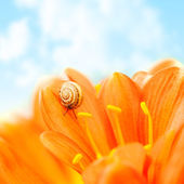 Crocus flower with snail — Stock Photo