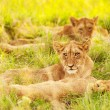 Stock Photo: Africlion cubs