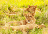 African lion cubs — Stock Photo