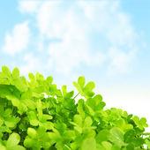 绿色新鲜三叶草字段 — 图库照片
