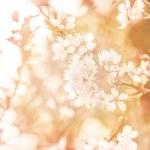 Apple tree blossom — Stock Photo #22018559