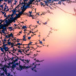 Cherry blossom over purple sunset — 图库照片