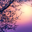 Cherry blossom over purple sunset — Stock Photo