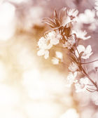 Gentle cherry flowers — Stock Photo
