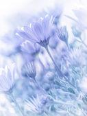 Tender daisy flowers — Stock Photo